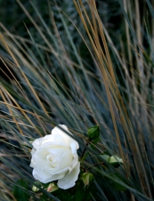 A Rose in Bloom
