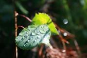 Aspen Leaf Dew
