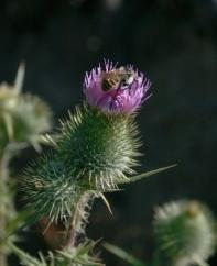 Bee on Thistle