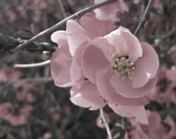 Begonia Tinted