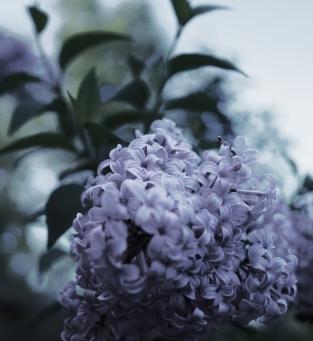 Dusk Lilac Tinted
