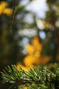 Evergreen and gold