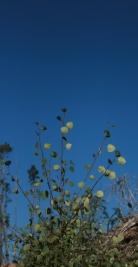 Green aspen under a blue sky