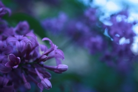 Lilac Closeup