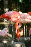Flamingos taking a drink