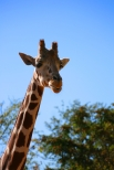 Long-necked....Giraffe