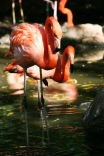 Flamingos in the drink