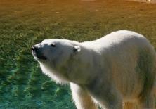 Polar Bear...rawr!