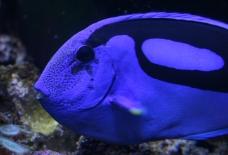 Blue Tang Fish