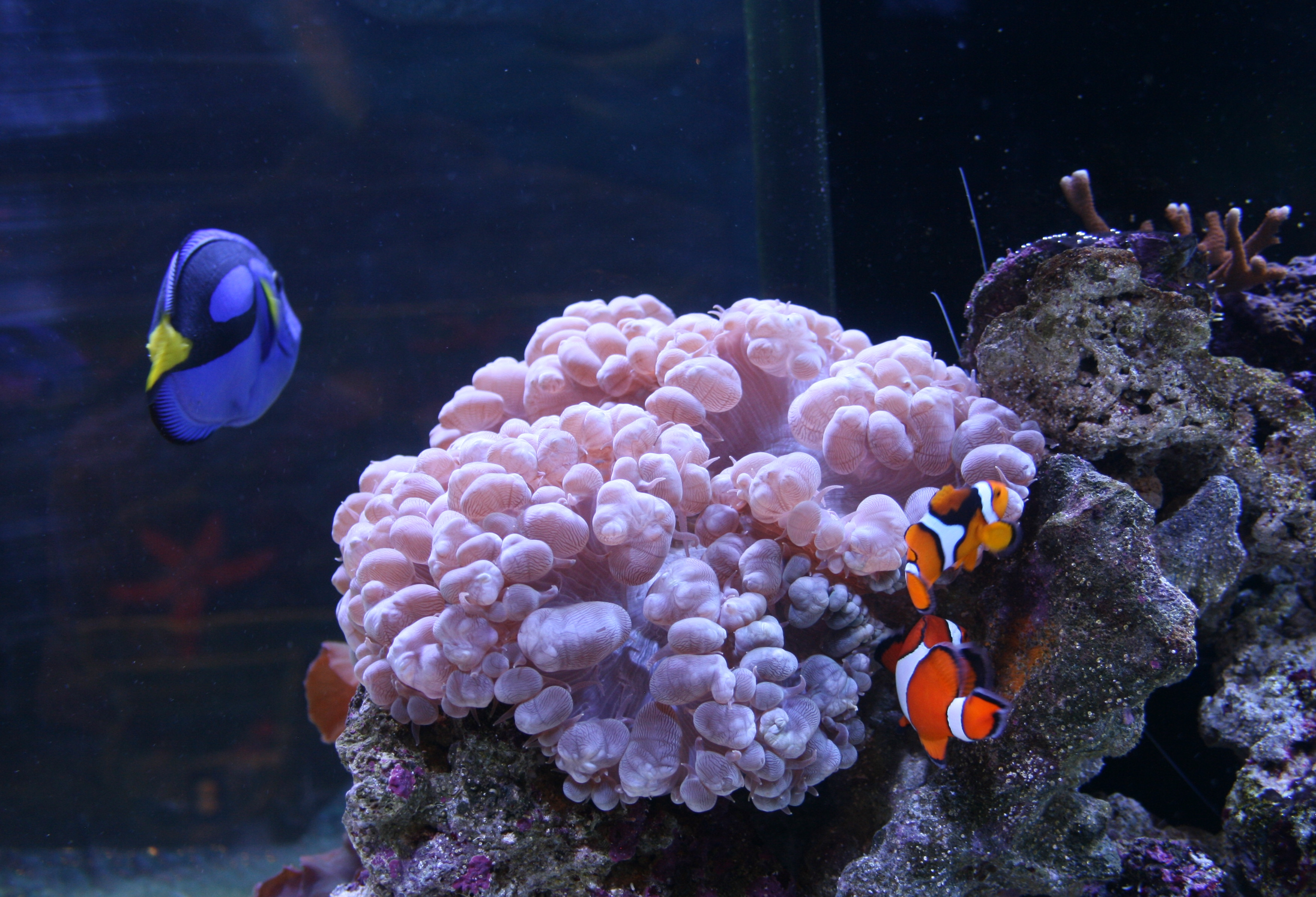 Blue tang orange clown fish bubble coral as eye see for Blue clown fish