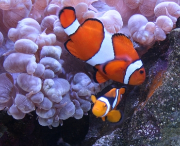 Clown Fish with Bubble Coral