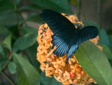 Great Mormon Butterfly