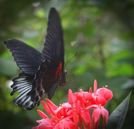 Lowii Swallowtail aka Great Yellow Mormon