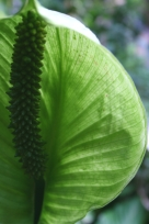 Peace Lily Backlit