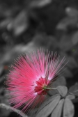 Powder Puff Flower
