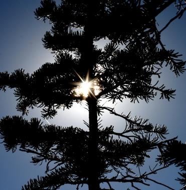 Evergreen in the Sun
