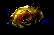 Drama rose