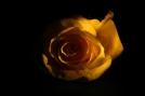 Moody rose