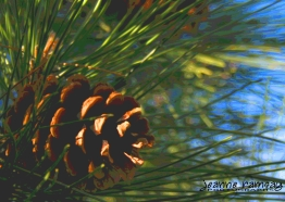 Art of a sun-kissed pinecone