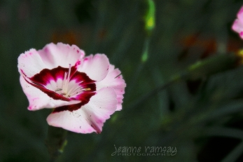 Spring carnation