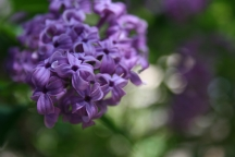 The New Lilac