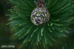 Early pine cone