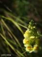 Buttercup buds