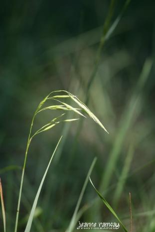 Gooseneck grass