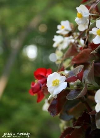 Beguiling begonia