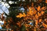 Sunkissed oak