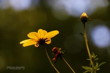 Backlit Petals