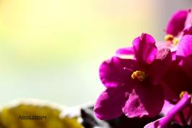 Magenta Bloom