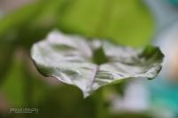 Wide Leaf